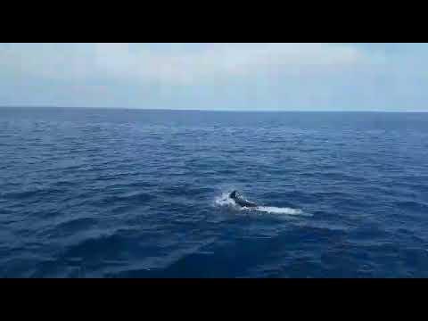 Dolphins at the Taormina bays